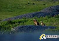 新疆吉木乃石城野狐