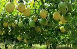 """""""新品""""果樹來了,建議趕緊辭職回家種上,果實清甜又營養"""
