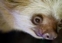 """""""澳洲最後的樹懶"""" 阿德萊德動物園44歲樹懶去世"""