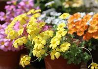 別隻養綠蘿了,此花美麗又好養,種子埋土裡就行,花期長開出花海