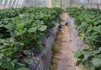 大棚草莓定植後的管理要點!草莓生長要注意的問題