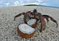 """椰子蟹:""""我把椰子都給你,別吃我好不好?"""""""