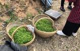 農村大媽上山採茶葉,一斤茶葉能給多少工錢?一天能掙多少錢?
