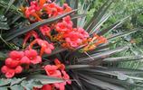 花卉圖集:凌霄