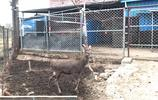河南農村大叔,投資40萬元養殖梅花鹿,能帶來多少效益呢?
