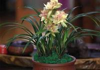 如何種出一盆葉美花香的蘭花呢?你若做好這四點 年年花自來!
