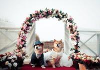 鄭爽的愛犬枸杞近日大婚,頻發博晒幸福,正版:枸杞,讓你媽出來