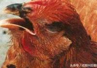 肉雞慢性呼吸道疾病的綜合防治,你願意錯過嗎?
