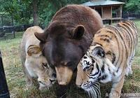 熊獅虎一家親 15年後獅兄先行 熊虎依舊溫情