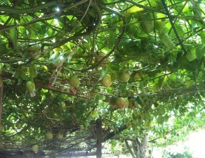 """農村種的""""百香果"""",全國只有一個地方種植,很多人都沒吃過"""