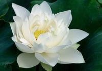 今生,我願化作一朵聖潔的白蓮