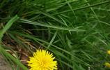 一朝雨後春風裡 脫卻黃金著雪衣 春天樓下的蒲公英
