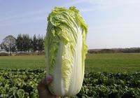 種植大白菜,包心期這種病害常見,及時做好管理,高產又優質