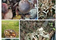 山林中的野生菌好撿嗎?為什麼很多人喜歡進山撿野生菌?