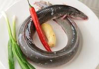 鰻魚有刺嗎 鰻魚有鱗嗎