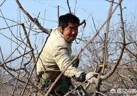 移栽的櫻桃樹需要剪枝子嗎?