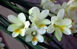 攝影圖集:花香清幽似蘭之香雪蘭