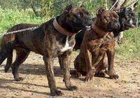 哪些猛犬不容易被馴服?