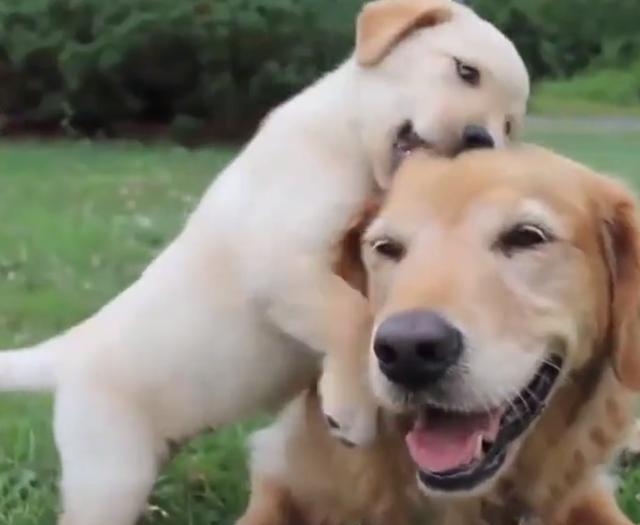 主人抱起小奶狗假裝往鍋裡放,狗媽媽趕緊咬住主人衣服,主人樂了