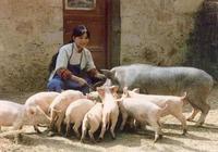 這可能是夏季養豬最簡單有效的方法,曾因規模化困難被棄用