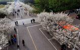 航拍的許昌學院櫻花大道,櫻花爛漫