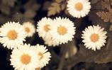 花卉圖集:雛菊