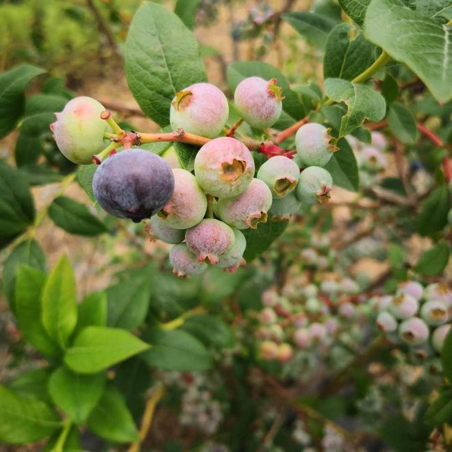 藍莓採摘你體驗過嗎,小編髮現就像自助,你靠吃是吃不回門票錢的