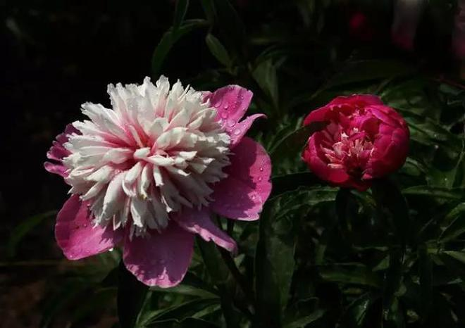 國色天香,花開富貴!請你欣賞牡丹花開圖片