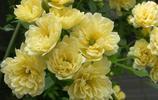 這6種的爬藤植物一開花就成瀑布,很簡單就讓陽臺成為小花園