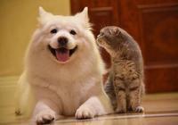 八個小技巧,挑選純種薩摩耶犬!