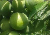 脆紅李子苗產量 李子苗的價格