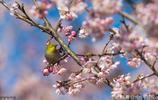 南京這三個地方的櫻花今早開放了!還有這些晚櫻觀賞地等著你!