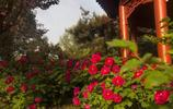 洛陽牡丹花