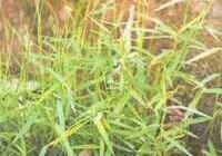 潮汕叄草之三