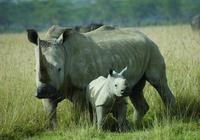 犀牛是僅次於大象的第二大陸地動物,只吃草不吃肉!
