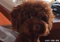泰迪打完疫苗回來判若兩狗,主人雖然很心疼,但是真的很想笑