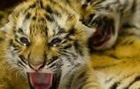 兩隻小老虎沒了媽,哈巴狗成了養母