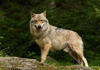 四匹狼哪一隻最讓人害怕?測出感情中你能抓住男人的心嗎?