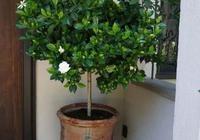 梔子花盆栽回家花苞不斷掉,第二年就再不開花了,是啥原因?