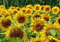 原創詩歌:向日葵
