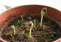"""養花的土,這樣消毒""""處理一下"""",沒有蟲子病菌,花草長得旺!"""