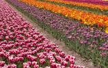色彩豔麗的鬱金香,美景如畫
