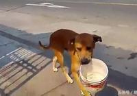 缺水嚴重,狗狗街上咬水桶到處向人乞討,讓網友心痛!