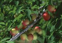 老瓜農教你挑選桃子,看準這個地方,保準個個又香又甜
