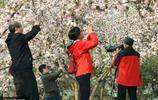 北京海棠花溪進入最佳觀賞期 市民競相拍照留影忙