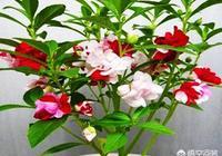 鳳仙花為什麼長出了真葉?葉子枯萎了?