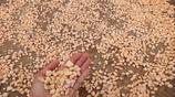 湖北宜昌:農民晾晒紅薯丁、紅薯絲,你知道怎樣食用嗎?