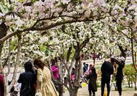 京城海棠花盛開