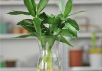 富貴竹怎樣水培?日常養護注意事項有哪些?