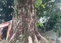 越南黃花梨和海南黃花梨是同屬一個樹種?